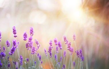 Lavender Carrots Nutraphoria